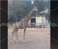 تفاصيل وصول 3 زرافات جديدة لحديقة الحيوان بالجيزة.. فيديو