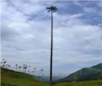 أطول شجرة نخيل في العالم تخترق الغيوم | صور