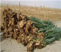 «الزراعة» تنفي الإفراج عن شحنة فسائل نخيل مصابة بأمراض مستوردة من الخارج