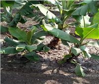 «الزراعة» تحصن «الموز» من الآفات.. وهذه نصائح تضمن محصول «آمن»