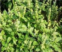 البحوث الزراعية: مصر الرابعة عالميا في إنتاج النباتات العطرية