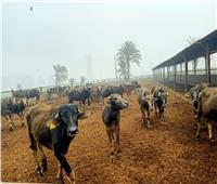 تطوير مزارع الثروة الحيوانية لزيادة الإنتاج بأسيوط