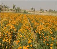 النباتات الطبية والعطرية كنز اقتصادي.. و«الزراعة» تستهدف 250 ألف فدان