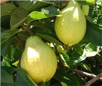 4 توصيات من «الزراعة» لمزارعين أشجار الجوافة