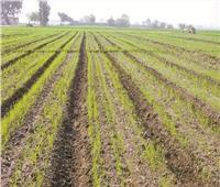 ارتفاع المساحات المنزرعة بمحصول القمح إلى 3 ملايين فدان