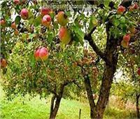 4 نصائح لمزارعي أشجار التفاح لزيادة وجودة المحصول