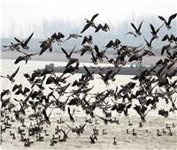 «الزرانيق».. المحطة الأولى في رحلة الطيور المهاجرة لإفريقيا