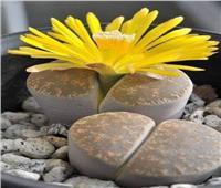 الخداع الجميل   نبات الحجر فصيلة بركانية وأصولها أفريقية