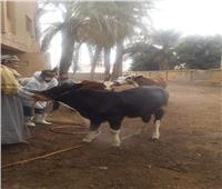 تحصين 6294 رأس ماشية ضد الطفيليات في بني سويف
