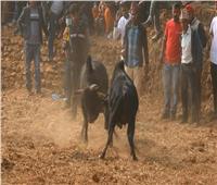 فيديو| «قتال الجواميس» حاضر في مهرجان الحصاد للهندوس بالهند ونيبال