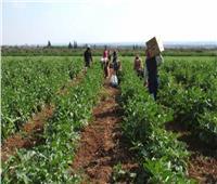 الزراعة تواصل جولاتها الميدانية للاطمئنان على المحاصيل بالمحافظات