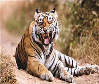 هجوم نمر على زوار حديقة في الهند