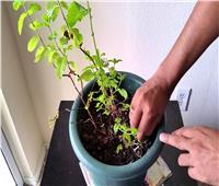 طريقة زراعة النعناع في المنزل