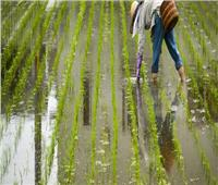 الصين تخطط لزراعة أرز هجين مقاوم للملوحة