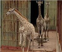 «الزراعة»: دعم حدائق الحيوان بـ 9 زرافات وضباع والباكا خلال عام