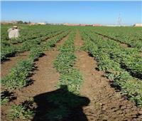 الحملة القومية لمحصول الفول البلدي والعدس تقدم نصائحها لمزراعي المنوفية
