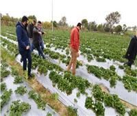 «الزراعة»: نجاح تجربة زراعة الفراولة بالتنقيط في دمياط.. صور