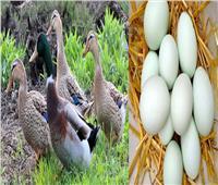 دراسة: تناول بيض البط كل صباح يحمي من هذا المرض