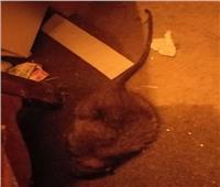 فأر كبير الحجم يعقر طفل أثناء نومه
