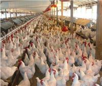 الزراعة: 24 منشأة في طريقها للحصول على اعتماد «خالية من انفلونزا الطيور»