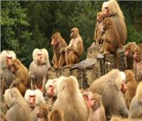 القرود تسرق محاصيل المزارعين بتايلاند