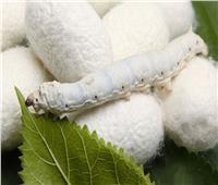 شاهد عظمة الله في خلقه.. إنتاج الحرير من دودة القز | فيديو