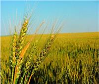 الزراعة تشكل لجان للمرور على حقول القمح لاكتشاف « الصدأ الأصفر» وعلاجه