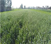 زراعة المنوفية: معلومات إرشادية لزيادة إنتاجية محصول القمح