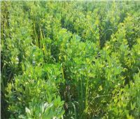 الزراعة تطمئن على حقول الفول البلدي بقنا وتقدم نصائح للمزارعين.. صور