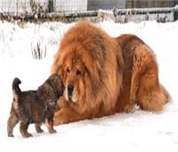 أحمر وأزرق.. أسرار كلاب «الدرواس التبت» الأكبر عالميًا