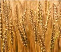 ننشر توصيات «الزراعة» لمزارعي القمح خلال فبراير المقبل