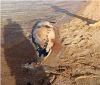 العثور على أنثى دولفين نافقة في حالة تعفن بشواطئ الغردقة.. صور