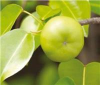 تفاحة الموت الصغيرة   النبات الأكثر خطورة في العالم.. إحراقه يسبب العمى