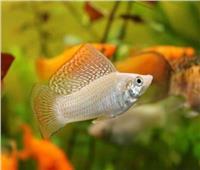 حالة إنجاب غريبة لسمكتين في حوض مائي يفسرها العلماء