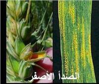 ندوات توعية لمزارعي القمح بطرق مكافحة «حشيشة الزمير» بالمنوفية