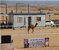 وزير الرياضة يتابع سباقات الهجن المقامة بشرم الشيخ