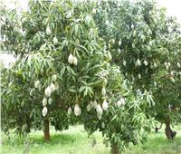 «الزراعة» تصدر نصائح بطرق الري والتسميد لأشجار المانجو خلال فبراير