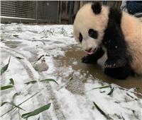 تزحلق الباندا على الجليد في واشنطن | فيديو