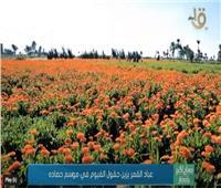 «عباد القمر» يزين حقول الفيوم في موسم حصاده.. فيديو
