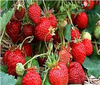 بسبب الصقيع والأمطار.. احمي محصول «الفراولة» بهذه الطريقة