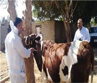 «بيطري الفيوم»: نستهدف تحصين 177 ألف رأس ماشية ضد الحمى القلاعية