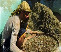 قرية الذهب الأخضر بالفيوم بـ«لا بطالة».. «الملوخية الصعيدي» تصل للعالمية
