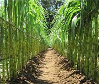 روشتةتوصيات من الزراعة لمحصول قصب السكرخلال فبراير