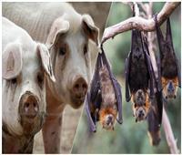 سكان الكهوف والمزارع.. «تكامل وبائي» بين الخفافيش والخنازير