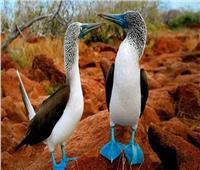 صاحب الأرجل الزرقاء.. أكثر طيور الإكوادور غرابة
