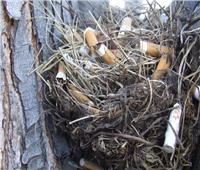 «طيور الكيف».. تسخدم أعقاب السجائر لبناء عشها