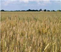 الزراعة تواصل المرور على حقول القمح بالشرقية وتقدم النصائح للمزارعين