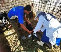 تحصين 155 ألف رأس ماشية ضد «الحمى القلاعية» بالإسكندرية