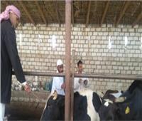 بيطري الأقصر: بدء برنامج تحصين الحيوانات ضد الحمى القلاعية