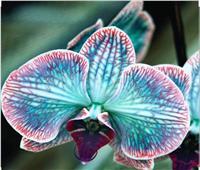 «الأوركيد» عطر الملوك.. أجمل الزهور وأقدمها